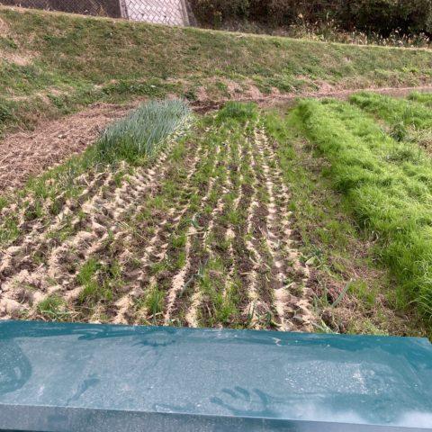 自家製米ぬか発酵肥料の散布