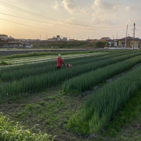 畝間の除草