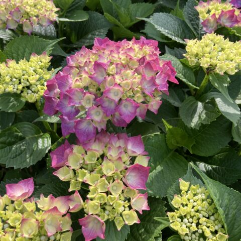 つつじと紫陽花