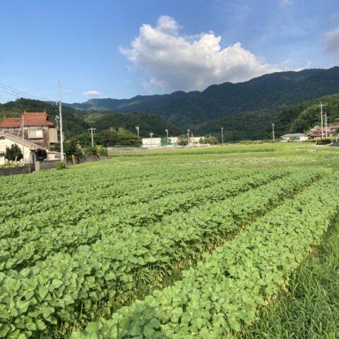 宇田郷支所近くのヒマワリ畑